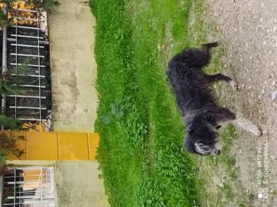 Cão ou cadela preto perdido com trela