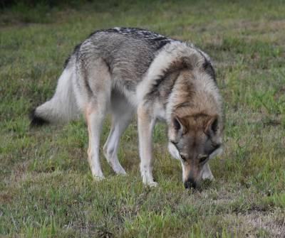 Lobo checo para montas