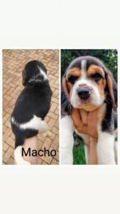 Filhotes lindos de Beagles