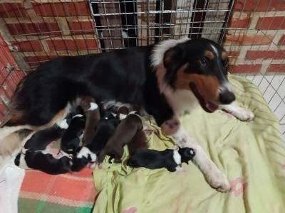 Bebês Border Collie