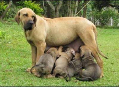 Fila Brasileiro- filhotes disponível