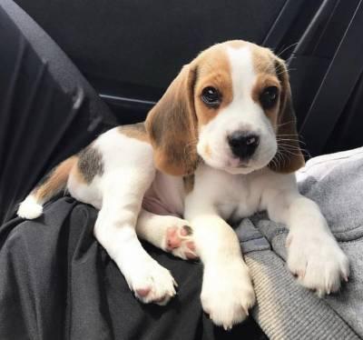 Beagle Filhote Macho e Fêmea com Pedigree e Garantia de Saúde