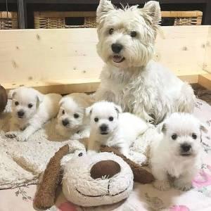 Filhotes de West Terrier