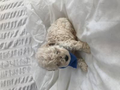 Último machinho de poodle