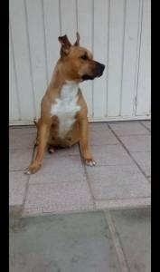 American Starffordshire Terrier