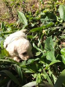 Poodle toy chocolate branco e abricó lindos filhotes disponíveis
