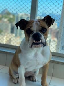 Bulldogue Inglês Fêmea Castrada