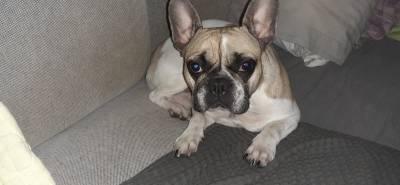 Cadela Bulldog Francês procura namorado - monta