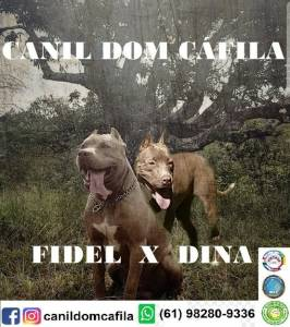Filhotes de American Pit bull Terrier APBT