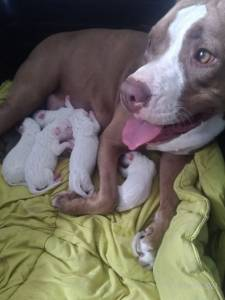 Filhotes de Pitbull - REDNOSE