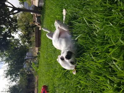 Chihuahua a procura da fêmea