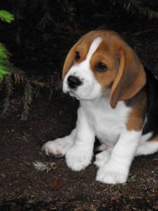 beagle-tricolor ou bicolor