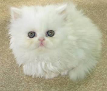 Vende-se Gato Persa