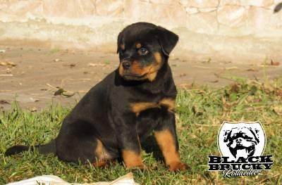 Ninhada Rottweiler Black Brucky