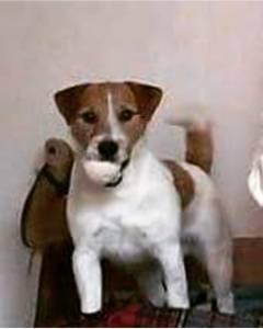 Jack russell Terrier Excelente exemplar