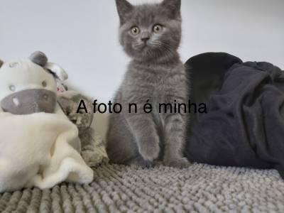 Procuro gatos British shorthair para adotar
