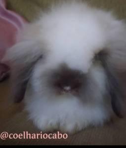 Mini coelho Fuzzy Lop Recife Pernambuco