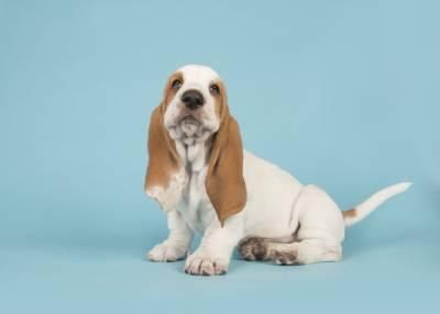 Quero adotar um Basset Hound