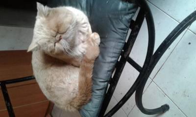 Gatinho persa exotico  para acasalamento