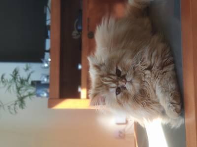 Procuro gatinha persa para acasalar com o meu gato
