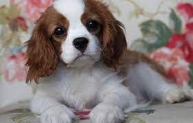 Fantástico cachorro Cavalier King Charles