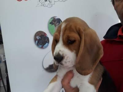 Cachorro beagle tricolor e bicolor