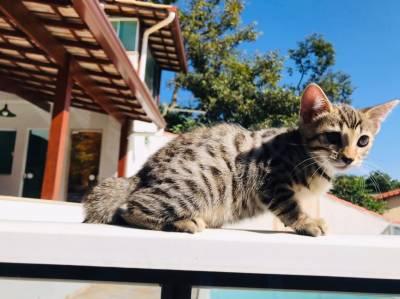 Filhotes de Gato Bengal