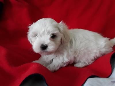 Cachorro Bichon Maltese  com Lop e Afixo