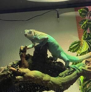 Iguana Azul Bebé