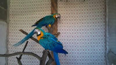 Casal Araras Araraunas adultas