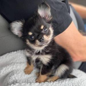 Chihuahua - pelo curto