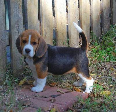 Beagle LINDOS DISPONIVEL