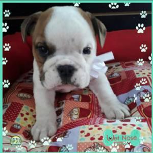 Bulldog Ingles Linda Femea Nesta Semana Na Wet Nose