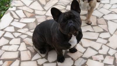 Bulldog francês Tigrado LOP