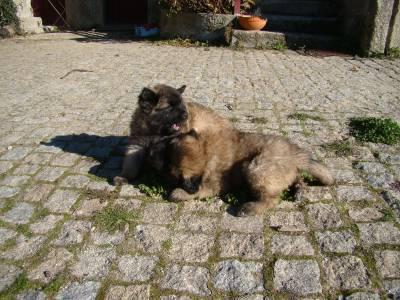 Cachorros Serra da Estrela
