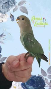 Aves criadas à mão para animal companhia