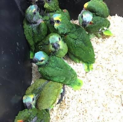 Papagaio Verdadeiro Filhotes Campinas