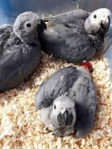 Papagaio do Congo Filhote Campinas