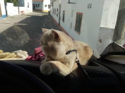 Gato persa exótico