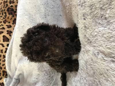Poodle toy filhotes chocolate e pretos de excelente linhagem