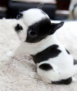 Bulldogue Francês- lindos filhotes