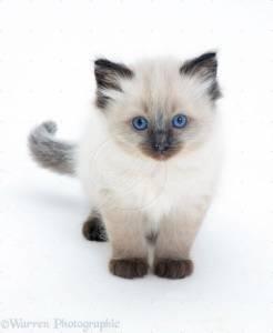 Ragdoll- gatinhos meigos
