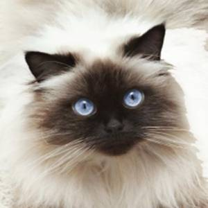 Himalaio- olhos super chamativos