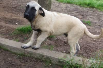 Cachorro Serra da Estrela pêlo curto garantias