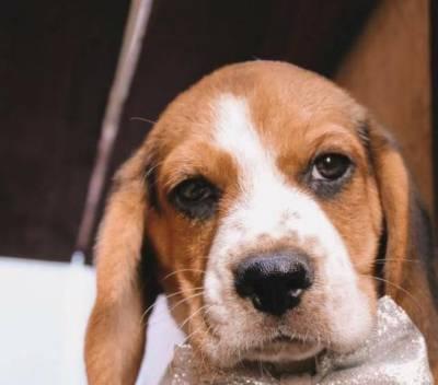 Lindas Filhotes Fêmeas De Beagle Com Pedigree