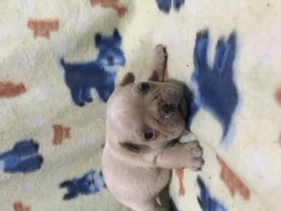 Bulldogue francês lindos filhotes disponíveis