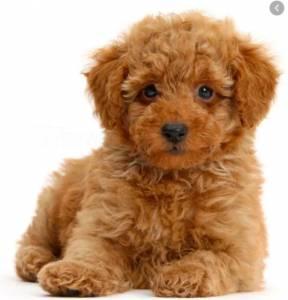 Quero adotar Poodle Toy cães de porte pequeno