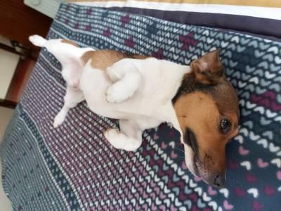Cachorro para acasalamento