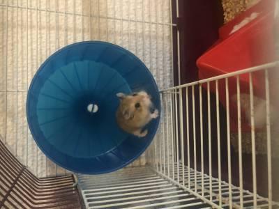Vendo hamster com gaiola alimentação e acessórios
