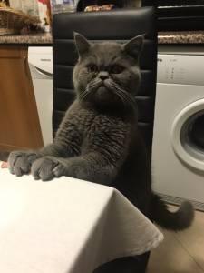 British Azul procura gatinha British ou Scotthish Fold ou Straight para acasalamento